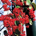 Schisandra-Berries