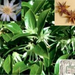 Star Anise fresh and dried