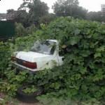 kudzu A Chinese Herb eats a car