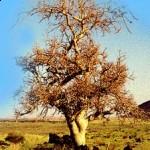 myrrh tree a Chinese herb