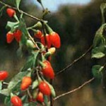 Goji berries a famous Chinese herb