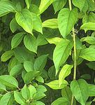 thunder-god-vine  Chinese herbs