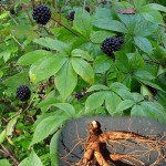 Eleuthero is one of the best Chinese herbs to improve your immune system