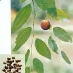 Best natural herbal sleep aid is Ziziphi or Suan Zao Ren