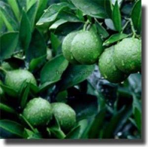 Best green tea weight loss fat burner diet remedies