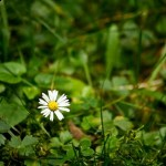 Chamomile a safe Chinese herb unless grown with pesticides