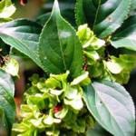 Chinese herb thunder god vine for Rheumatoid arthritis