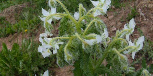 Melanoma herb Borage supplement